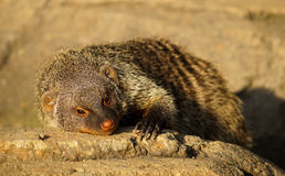 Banned Mongoose in the sun Royalty Free Stock Images