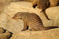 Banned Mongoose in the sun Royalty Free Stock Photos