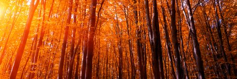 Free Banner 3:1. Autumn Treetops In Fall Forest. Sky And Sunlight Through The Autumn Tree Branches. Autumn Background. Copy Space. Soft Royalty Free Stock Image - 147608536