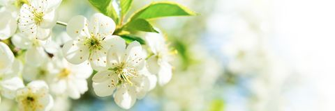 Free Banner 3:1. Cherry Blossom In Full Bloom. Spring Background. Copy Space Royalty Free Stock Photo - 147211155
