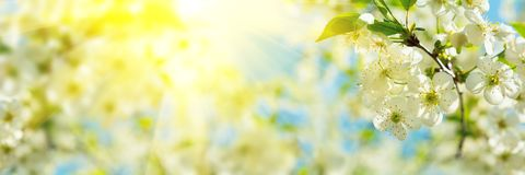 Free Banner 3:1. Cherry Blossom In Full Bloom With Sunlight Rays From Tree Branches. Spring Background. Copy Space Stock Photo - 147827110