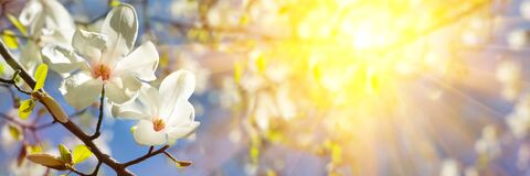 Free Banner 3:1. White Magnolia Flower On Tree Against Blue Sky And Sun Lights. Spring Background. Soft Focus Stock Photo - 168897440