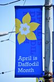 Banner  .            April is  daffodil month.  Vancouver BC Canada      April. 2019 royalty free stock photo