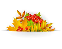 Banner, Autumn background or template card with yellow maple leaves and mountain ash berries Royalty Free Stock Photo