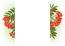 Banner with autumn rowan Royalty Free Stock Photography