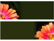 Banner  background - Zinnia flower macro. Dark green banners with a large zinnia flowers Royalty Free Stock Images
