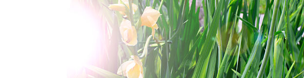 Banner beautiful flowers and bright grass in the garden. Easy light effect Royalty Free Stock Image