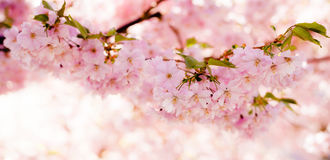 Banner of beautiful pink cherry blossom tree. Panorama banner of cherry bloom twig stock images