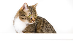 Banner and a cat. Brown tiger cat with a white empty shield royalty free stock photography