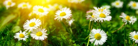 Banner 3:1. Close up daisy chamomile flowers with sunlight rays. Spring background. Copy space. Soft focus.  royalty free stock image