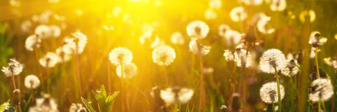 Banner 3:1. Close up dandelion flowers with sunlight rays. Spring background. Copy space. Soft focus.  stock photos