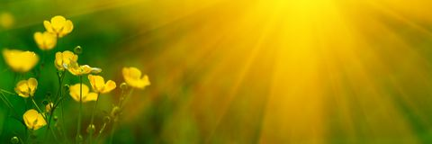Banner 3:1. Close up meadow buttercup flowers Ranunculus acris with sunlight rays. Spring background. Copy space. Soft focus.  stock photos