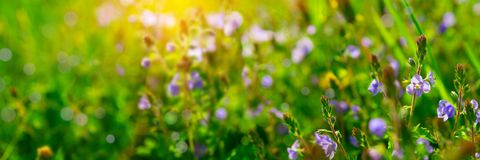 Banner 3:1. Close up of Nemophila baby blue eyes flowers with sunlight rays. Spring background. Copy space. Soft focus.  stock photos