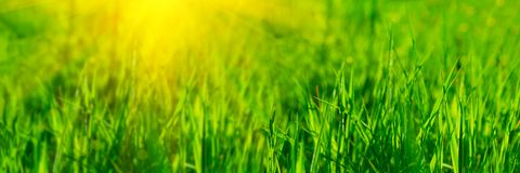 Banner 3:1. Close up vibrant fresh green grass with sunlight rays. Spring background. Copy space. Soft focus.  royalty free stock photography