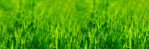 Banner 3:1. Close up vibrant fresh green grass with sunlight rays. Spring background. Copy space. Soft focus.  stock photo