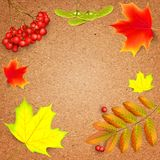 Banner on a crafting paper. Banner on a crafting paper with maple autumn leaves and rowan branches with ashberry . Autumn maple leaf and red rowan branches Stock Photos