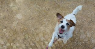 BANNER OF A CUTE AND HAPPY JACK RUSSELL DOG JUMPING AND LOOKING UP BEGGING FOOD. ISOLATED PORTRAIT AGAINST NATURAL BROWN stock images