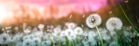 Dandelions At Sunset stock images