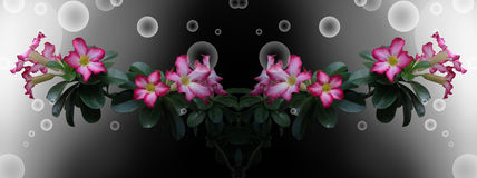 Banner Desert Rose on black background and bubbles Royalty Free Stock Photos