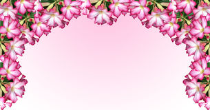 Banner Desert Rose on pink background Royalty Free Stock Photo