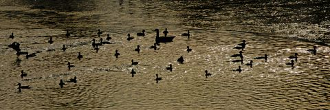 Silhouettes of ducks and goose in the water. Banner of duck and goose silhouettes in rippling water reflecting the sunlight stock photo