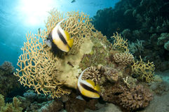 Banner fish on coral reef Stock Photos