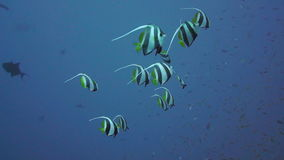 Banner-fish at the Red Sea coral reef stock video