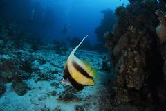 Banner fish - St John's reef Egypt. Banner fish are a common sight at St John reef, Egypt Royalty Free Stock Photography