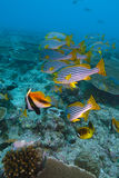 Banner fishes, Indian ocean underwater Royalty Free Stock Photography