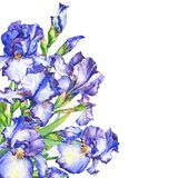 Banner with flowering blue and violet Iris. Watercolor hand drawn painting illustration, isolated on white background Stock Photography