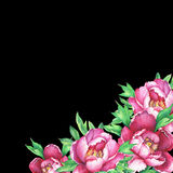 Banner with flowering pink peonies, isolated on black background. Stock Photography