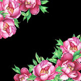 Banner with flowering pink peonies, isolated on black background. Royalty Free Stock Image