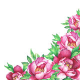 Banner with flowering pink peonies, isolated on white background. Stock Image