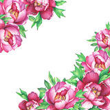 Banner with flowering pink peonies, isolated on white background. Royalty Free Stock Photos