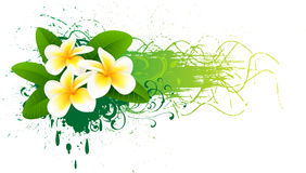 Banner with frangipani Stock Image