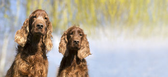 Banner of funny dogs. Website banner of funny Irish red Setter dogs stock image
