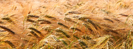 Banner of golden wheat field Stock Image