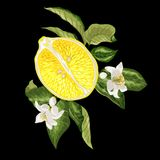 Banner image with juicy half of citru orange fruit and branches stock illustration
