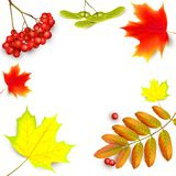 Banner with maple autumn leaves. Banner with maple autumn leaves and rowan branches with ashberry . Autumn maple leaf and red rowan branches with ashberry Stock Image