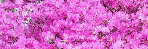 Banner met het beeld van roze bloeiende struik, rododendron vele kleine bloemen in één plaats Plaats voor tekst royalty-vrije stock foto's
