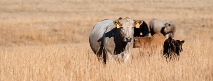 Banner of mixed breed beef cattle in tall dormant grass. Panorama of mixed breed beef cows and calves in tall, dormant grass pasture with negative space to the royalty free stock photo