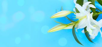 Banner Natural bouquet of lilies on a blue background. stock photos