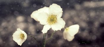 Banner Natural wild poppy on the background of nature. Stock Images