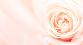 Banner with pink rose Stock Photo