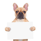 Banner placard dog. Fawn french bulldog holding a white blank banner or placard, isolated on white background stock photography