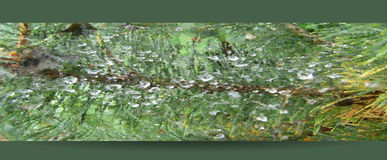 Banner of polygons with  green needles and dew. Green pine twig with drops of dew and cobweb Stock Photos