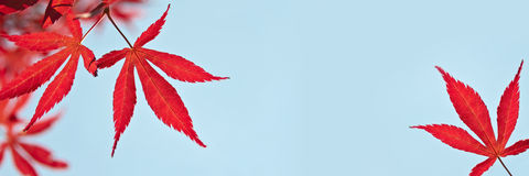 Banner with red maple leaves, blue sky. Background Royalty Free Stock Images