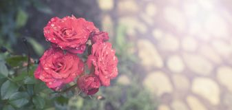Banner Red rose Bush in the garden Blooming plant blurred background selective focus Top view. Banner Red rose Bush in the garden Blooming plant blurred stock photo