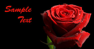 Banner with red rose with drops on black Royalty Free Stock Photography