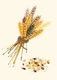 Banner from ripe wheat. Organic natural  product.Vector illustration Stock Images